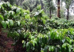 Coffee bushes in the rainforest